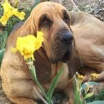 beautiful bloodhound