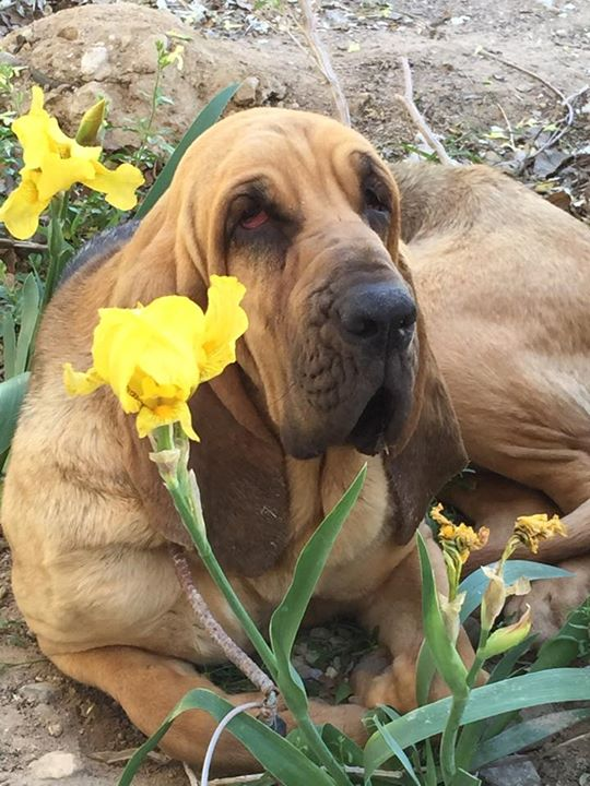 beautiful-bloodhound