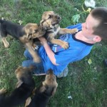 bloodhound puppies for sale